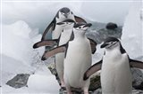 Four Chinstrap Penguins, Antarctica Art Print