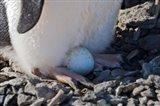 Adelie Penguin nesting egg, Paulet Island, Antarctica Art Print