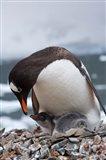 Gentoo Penguins, Neko Harbor, Antarctica Art Print