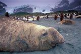Elephant Seal and King Penguins, South Georgia Island, Antarctica Art Print