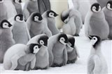 Emperor Penguins on ice, Snow Hill Island, Antarctica Art Print