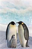 Three Emperor Penguin, Snow Hill Island, Antarctica Art Print