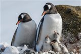 Antarctica, Antarctic Peninsula, Brown Bluff Gentoo Penguin With Three Chicks Art Print