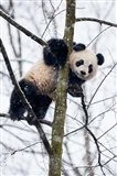 China, Chengdu Panda Base Baby Giant Panda In Tree Art Print