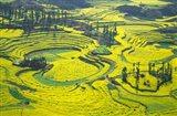 Yellow Rape Flowers Cover Qianqiou Terraces, China Art Print