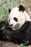China, Wolong Nature Reserve, Giant panda bear Art Print