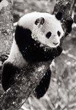 China, Sichuan, Giant Panda Bear, Wolong Reserve Art Print