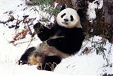 Giant Panda With Bamboo, Wolong Nature Reserve, Sichuan Province, China Art Print