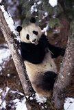 China, Giant Panda Bear, Wolong Nature Reserve Art Print