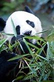 Panda bear, Panda reserve Art Print