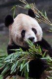 Asia, China Chongqing. Giant Panda bear, Chongqing Zoo. Art Print