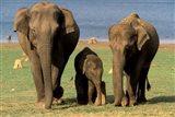 Asian Elephant Family, Nagarhole National Park, India Art Print