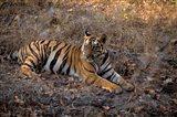 Tiger in Ranthambore National Park, India Art Print