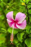 Ranthambore, Rajasthan, India, Hibiscus Flower Art Print