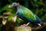 Nicobar Pigeon bird, Indonesia Art Print