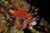 Indonesia, Sulawesi, Spotfin lionfish Art Print