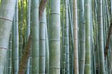 Bamboo Forest, Kyoto, Japan Art Print