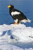 Japan, Hokkaido, Raus, Steller's Sea Eagle Art Print