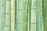 Bambloo Forest, Sagano, Arashiyama, Kyoto, Japan Art Print