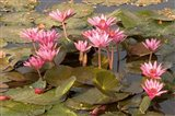 Pink Lotus Flower in the Morning Light, Thailand Art Print