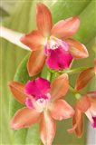 Orchid Blooms in the Spring, Thailand Art Print