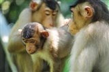 Southern Pig-Tailed Macaque, Sepilok, Borneo, Malaysia Art Print