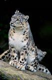 Snow Leopard, Uncia uncia, Panthera uncia, Asia Art Print