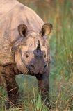 Asia, Nepal, Royal Chitwan NP. Indian rhinoceros Art Print