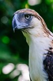 Philippine Eagle Art Print