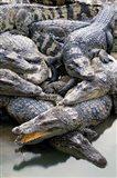 Asia, Thailand Crocodiles Art Print