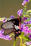 Thailand, Doi Inthanon, Papilio polytes, butterfly Art Print