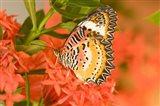 Thailand, Nam Nao NP, Leopard Lacewing butterfly Art Print