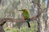 Australia, Alice Springs Alice Springs Desert Park Rainbow Bee-Eater Art Print
