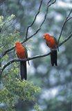 Male Australian King Parrots, Queensland, Australia Art Print