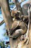 Mother and Baby Koala on Blue Gum, Kangaroo Island, Australia Art Print