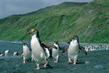 Royal Penguin, Macquarie, Austalian sub-Antarctic Art Print