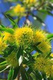 A Bright Yellow Wattle Tree In Suburban Cairns, Queensland, Australia Art Print