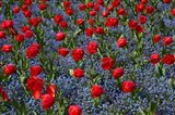 Tulips, Botanic Gardens, Hagley Park, Christchurch, Canterbury, New Zealand Art Print