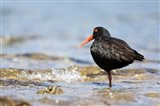 New Zealand, Oystercatcher tropical bird Art Print