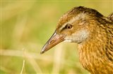 New Zealand, South Island, Marlborough, Weka bird Art Print