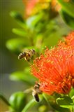 New Zealand, South Island, Bee on Rata flower Art Print