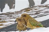 New Zealand, South Island, Arrowsmith, Kea birds Art Print