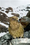 New Zealand, South Island, Arrowsmith, Kea bird up close Art Print