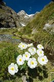 New Zealand Arthurs Pass, Mountain buttercup flower Art Print