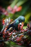 Tui bird, New Zealand Art Print