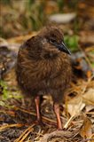 New Zealand, Stewart Island, Ulva Island, Weka bird Art Print
