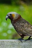 New Zealand, Stewart Island, Halfmoon Bay Kaka bird Art Print
