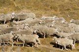 Farm animals, Sheep herd, South Island, New Zealand Art Print