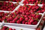 Hydroponic Strawberry Production, Marlborough, South Island, New Zealand Art Print