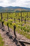 New Zealand, Wairau Rivery Winery vineyard Art Print